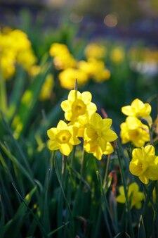 Campo di narcisi gialli in fiore nel parco