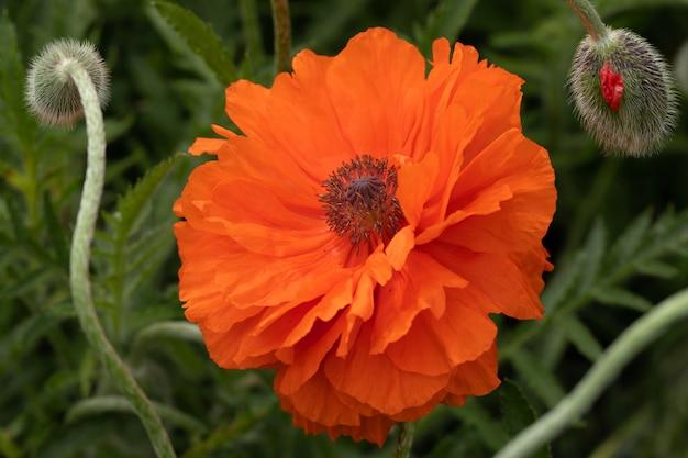 Campo di fiori di papavero rosso brillante