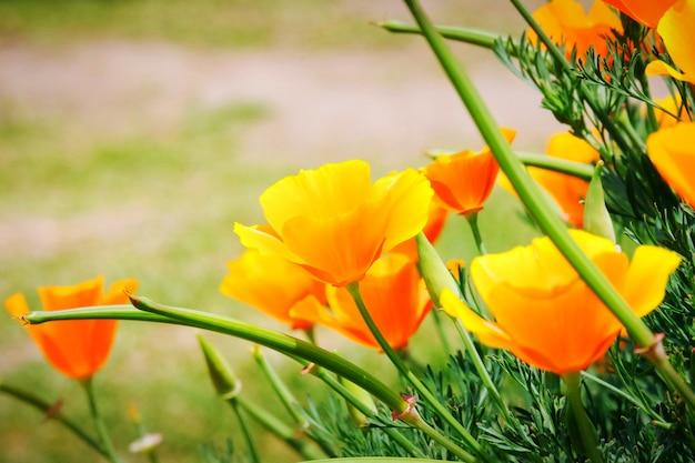 Il campo del papavero della california (eschscholzia californica) sta fiorendo, bei fiori d'arancio
