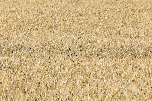 Campo di cereali in estate - un campo agricolo con cereali maturi ingialliti in estate