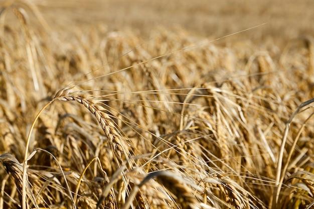 Campo di cereali in estate