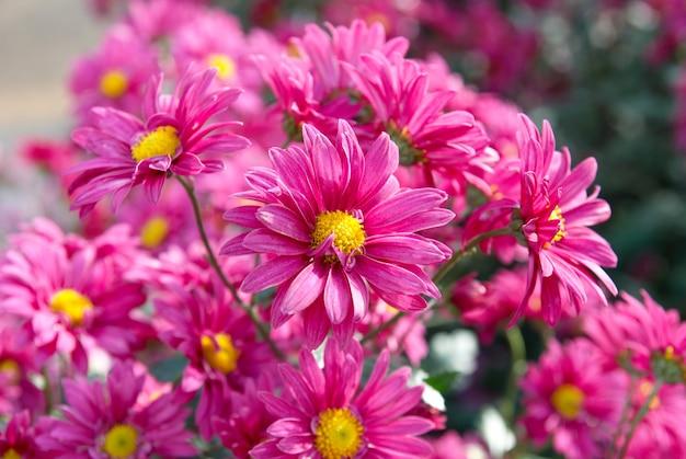 Campo di crisantemi rosa scuro