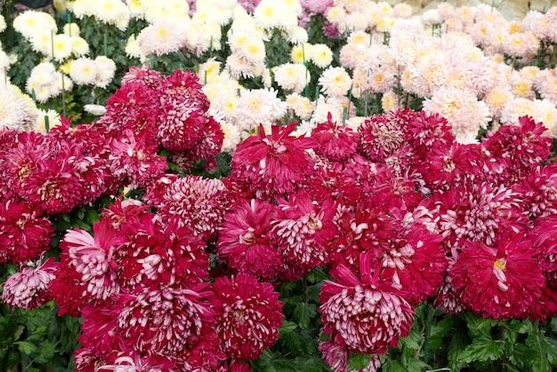 Campo di crisantemi rosa e bianchi scuri