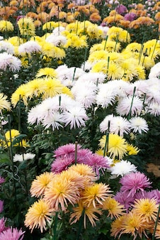 Campo di crisantemi di diversi colori