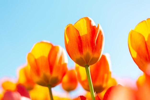 Un campo di tulipani arancioni ardenti sotto i raggi della luce del giorno d'estate