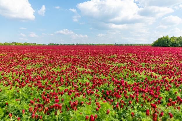 Campo di fioritura dei trifogli cremisi rossi nel tempo di primavera, repubblica ceca Foto Premium