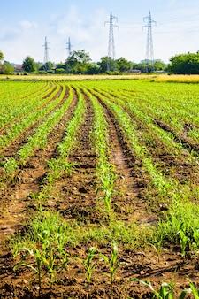 Campo di grano verde nella stagione primaverile