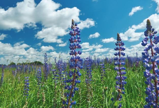 Campo di lupino viola. smolensk, russia.