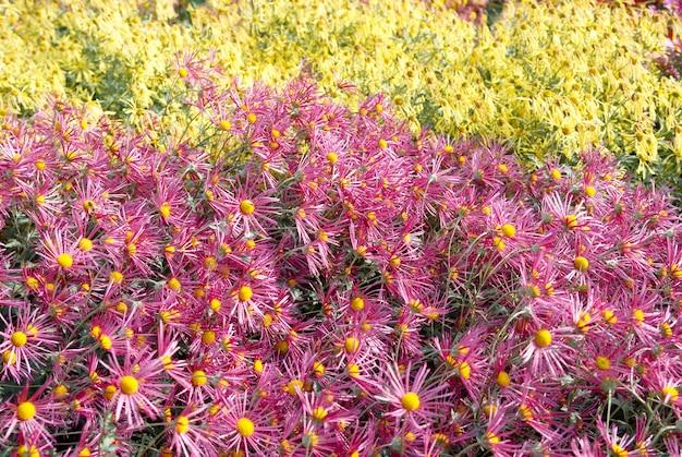 Campo di crisantemi viola e gialli
