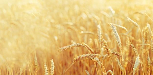 Campo di grano in autunno