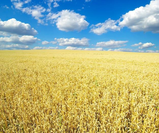 Campo di grano nel cielo blu