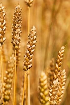 Campo, sul quale crescono i cereali durante il raccolto aziendale