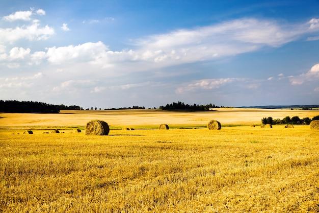 Campo, su cui cresce il grano durante il raccolto