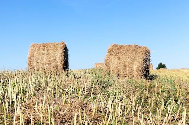 Il campo in cui viene raccolto il raccolto di colza e la paglia da cui viene raccolta in balle per l'uso in azienda