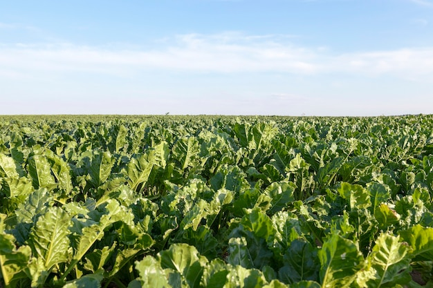 Campo con barbabietola - campo agricolo su cui crescono barbabietole, cielo blu