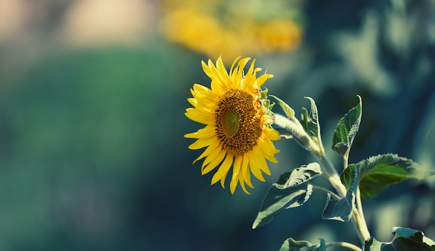 Campo con girasoli in fiore in un giorno d'estate, uno