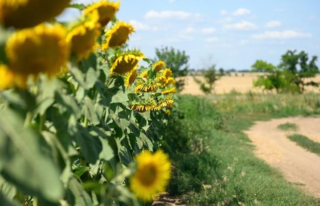 Campo con girasoli in fiore in una giornata estiva, pianta lungo la strada