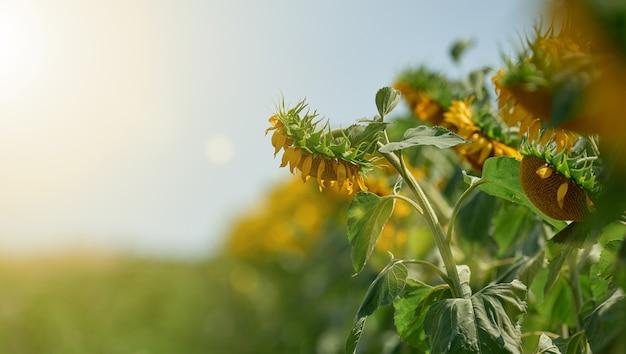 Campo con girasoli in fiore in una giornata estiva, una fila di piante