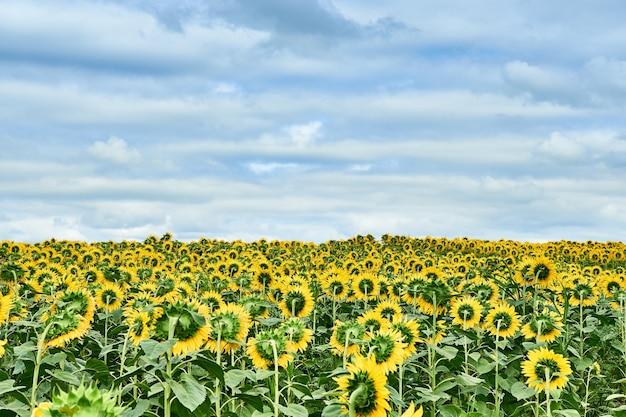 Campo con girasoli gialli luminosi.