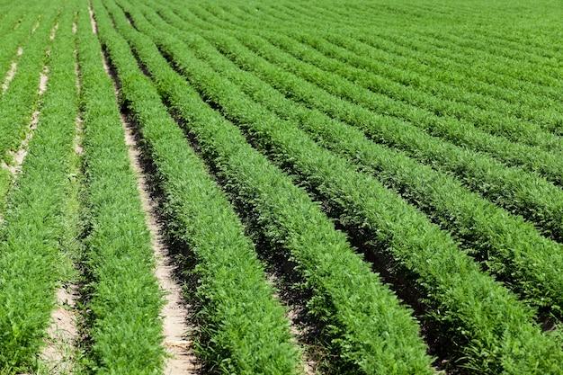Campo con carote campo agricolo su cui crescono giovani carote verdi. piccola profondità di campo