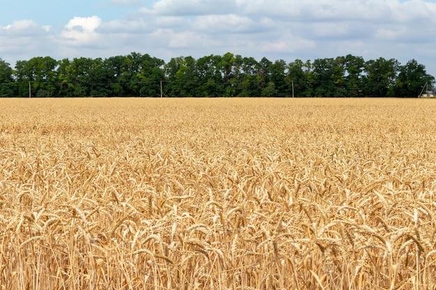Campo con spighe di grano