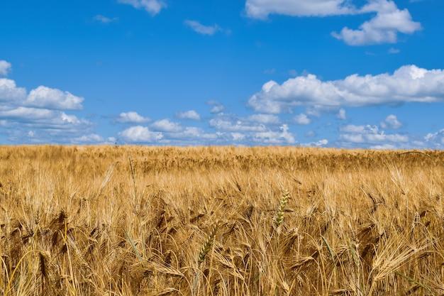Campo con orecchie d'oro e cielo blu all'orizzonte, motivi agricoli, campo del pane