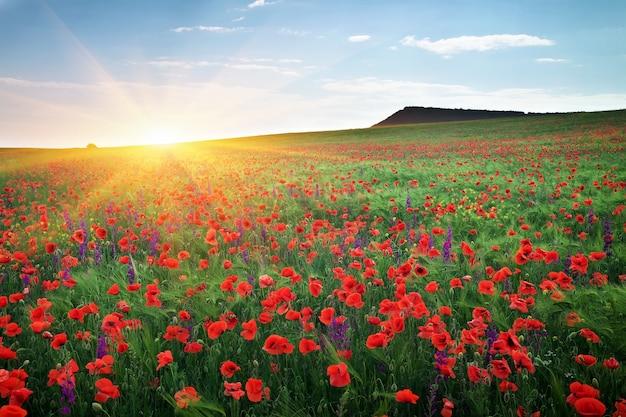 Campo con erba, fiori viola e papaveri rossi