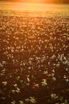 Campo con molti germi durante il tramonto, il tramonto