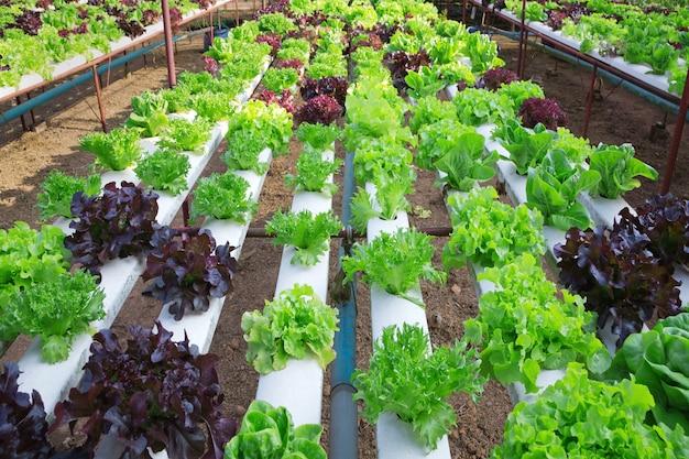 Campo con filari di lattuga di testa, colorato maturo pronto per il raccolto.