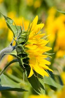 Campo di girasoli in estate, campo di girasoli durante la fioritura e impollinazione degli insetti con tempo soleggiato