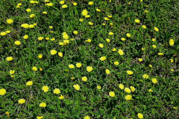 Un campo con una varietà di fiori di campo ed erba verde su tutto il telaio.