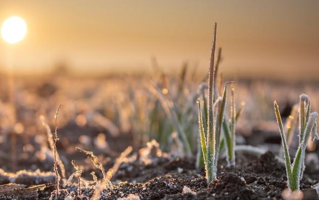Campo con colture di grano invernale, foglie di grano in germinazione ricoperte di brina mattutina. alba la mattina presto sul campo dell'azienda agricola.