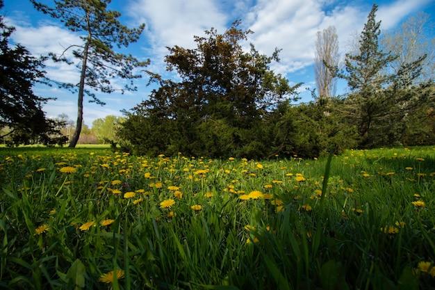 Campo con denti di leone gialli ed erba verde sotto il cielo azzurro e nuvole bianche