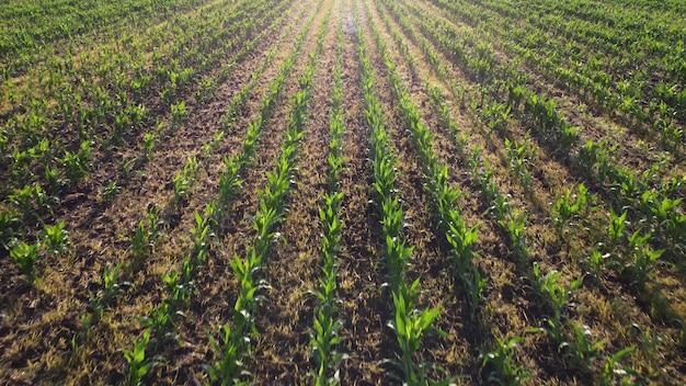 Campo con mais verde giovane, germinazione delle colture nelle piantagioni agricole.