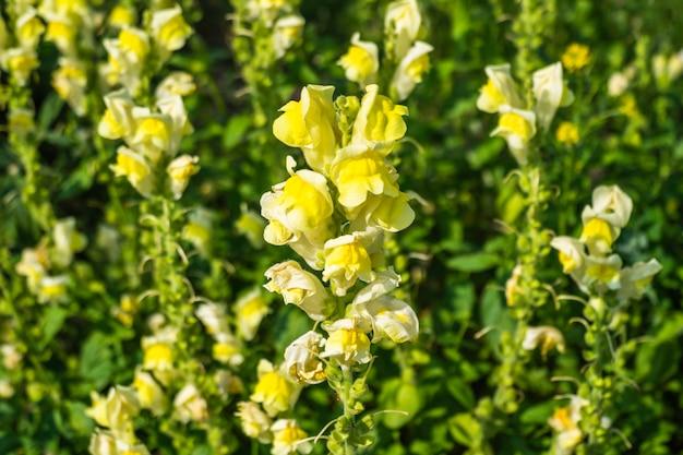 Campo di fiori di rose gialle che sbocciano in giardino.