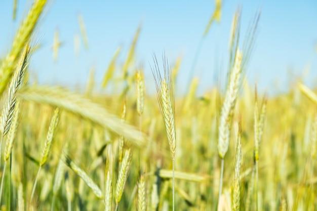 Campo di grano giovane, spighette di grano da vicino.