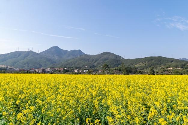 Campi di fiori di colza dorati sotto il cielo azzurro