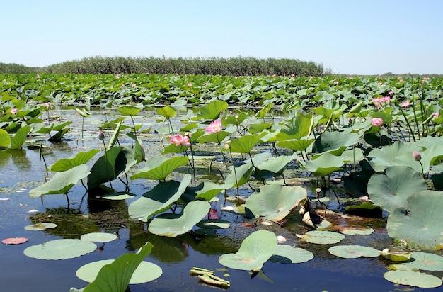 Campi di fiori di loto nella pianura alluvionale del fiume volga nella regione di astrakhan in russia
