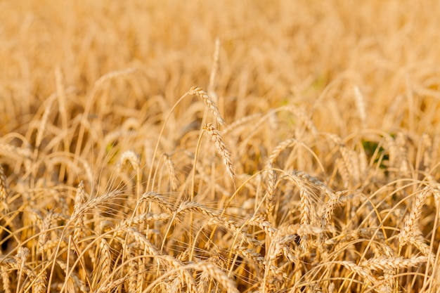 Campi di grano a fine estate completamente maturi