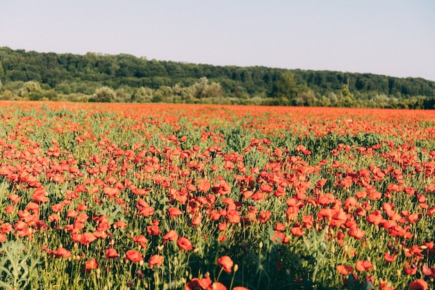 Un campo di bellissimi papaveri. immagine di un campo di papaveri. emozioni positive che sentono la vita, la pace della mente.