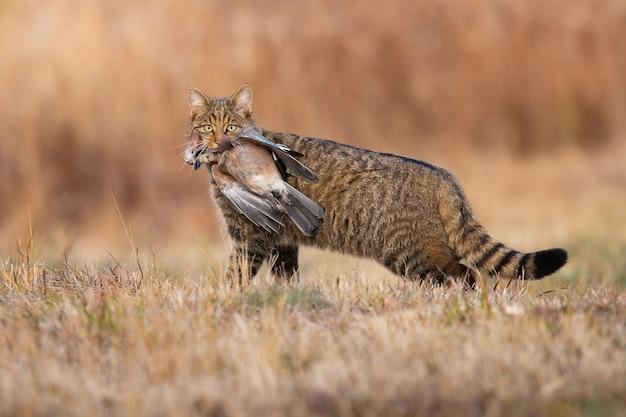 Gatto selvatico europeo feroce che tiene uccello morto in bocca in autunno.