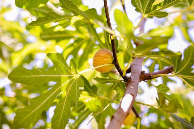 Albero di fico con foglie verdi