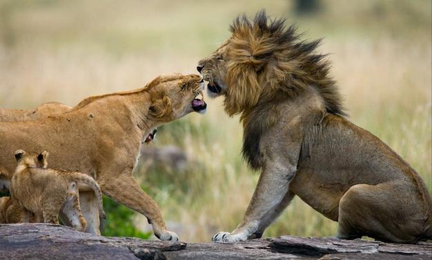 Combatti nella famiglia dei leoni. parco nazionale. kenya. tanzania. masai mara. serengeti.