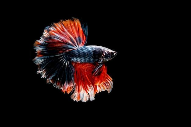Pesce combattente isolato sul nero