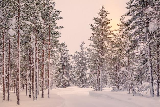 Lapponia finlandese. tanta neve nella pineta.