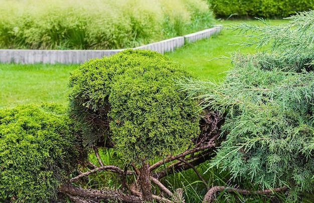 Cespugli di abete nel giardino estivo