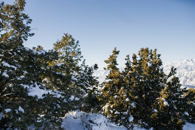 Abeti coperti di neve nella foresta in inverno in una giornata di sole