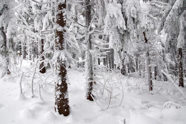 Abeti nella neve di inverno