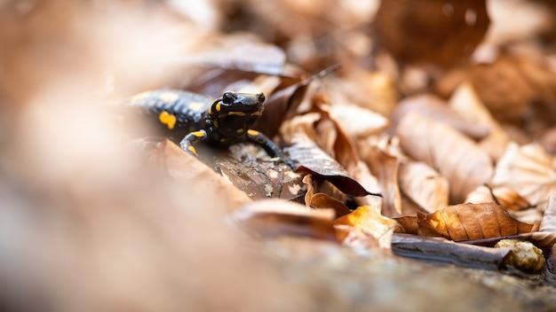 Salamandra pezzata che si nasconde nel fogliame arancione secco nella natura autunnale.