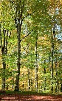 Primo fogliame giallo autunnale nella soleggiata foresta di faggi